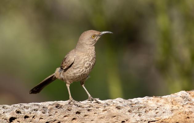 Common Birds of the Phoenix-Metro Area