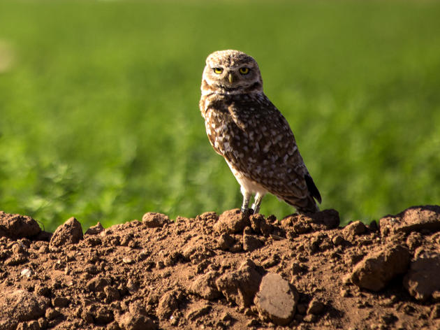 100th Burrowing Owl Released into Rio Salado Habitat