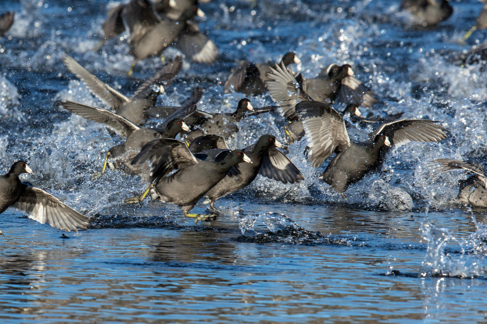 Flock of American Coot