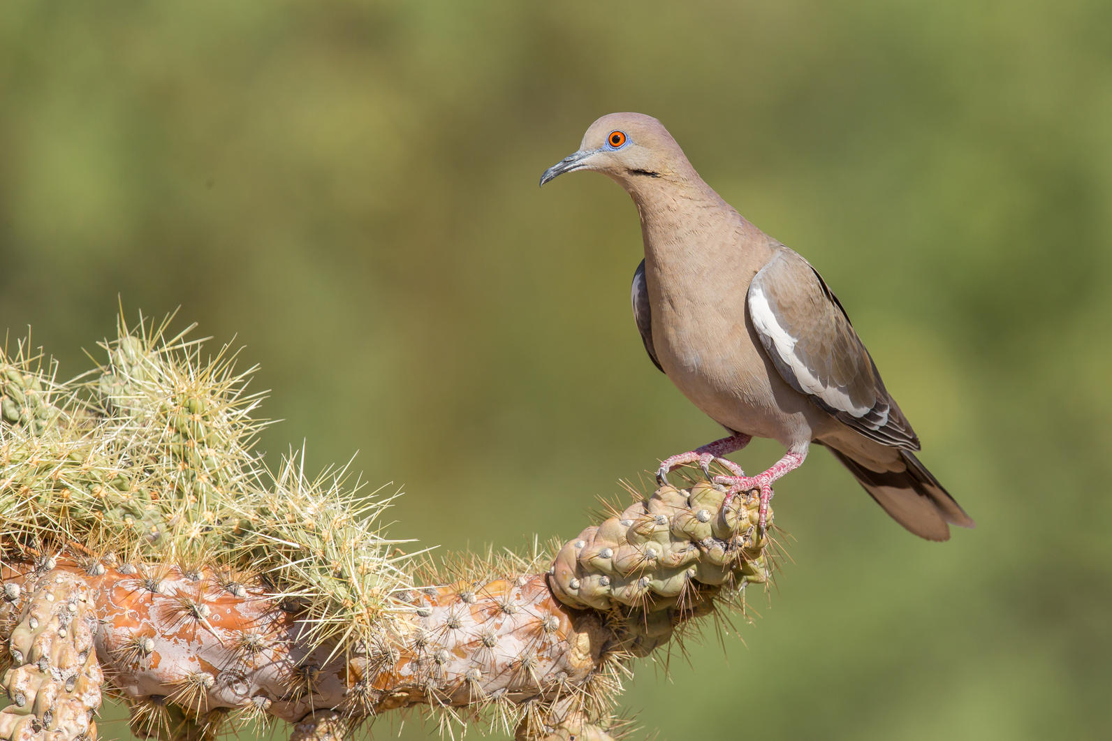 White-winged Dove perched on Cholla branch