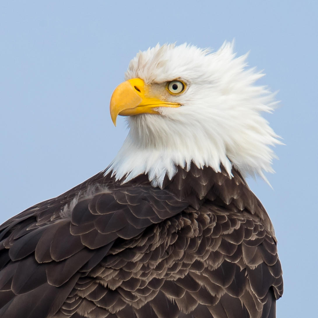 Bald Eagle with feathers ruffled by the wind