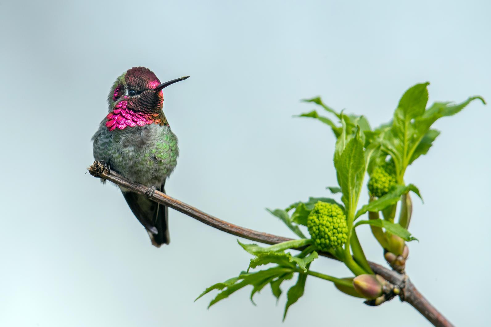 Ann's Hummingbird preached branch