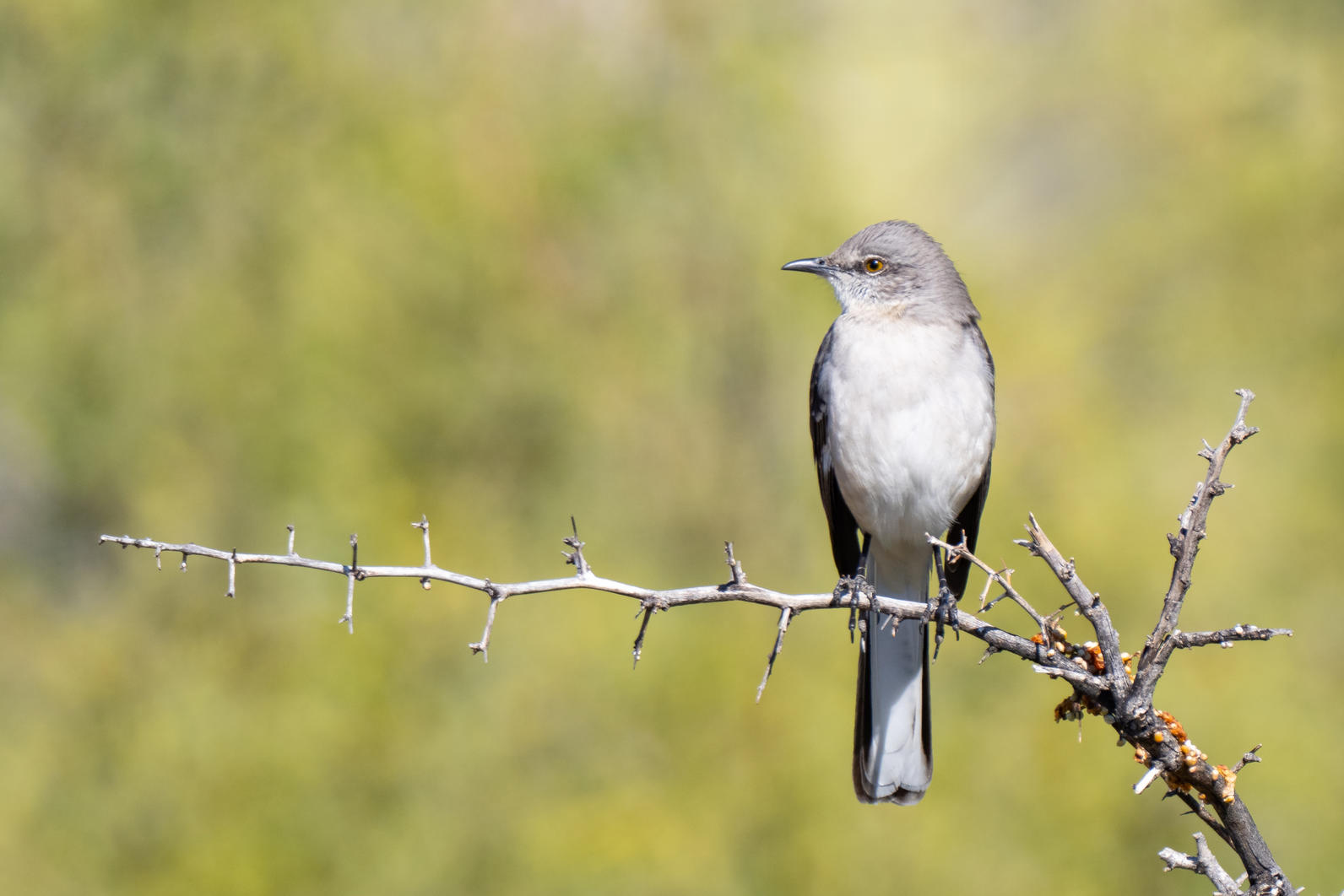 Northern Mockingbird perched on a Desert Hackberry