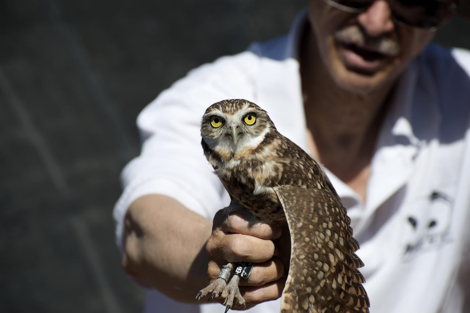 Greg Clark from Wild At Heart holds a Burrowing Owl.