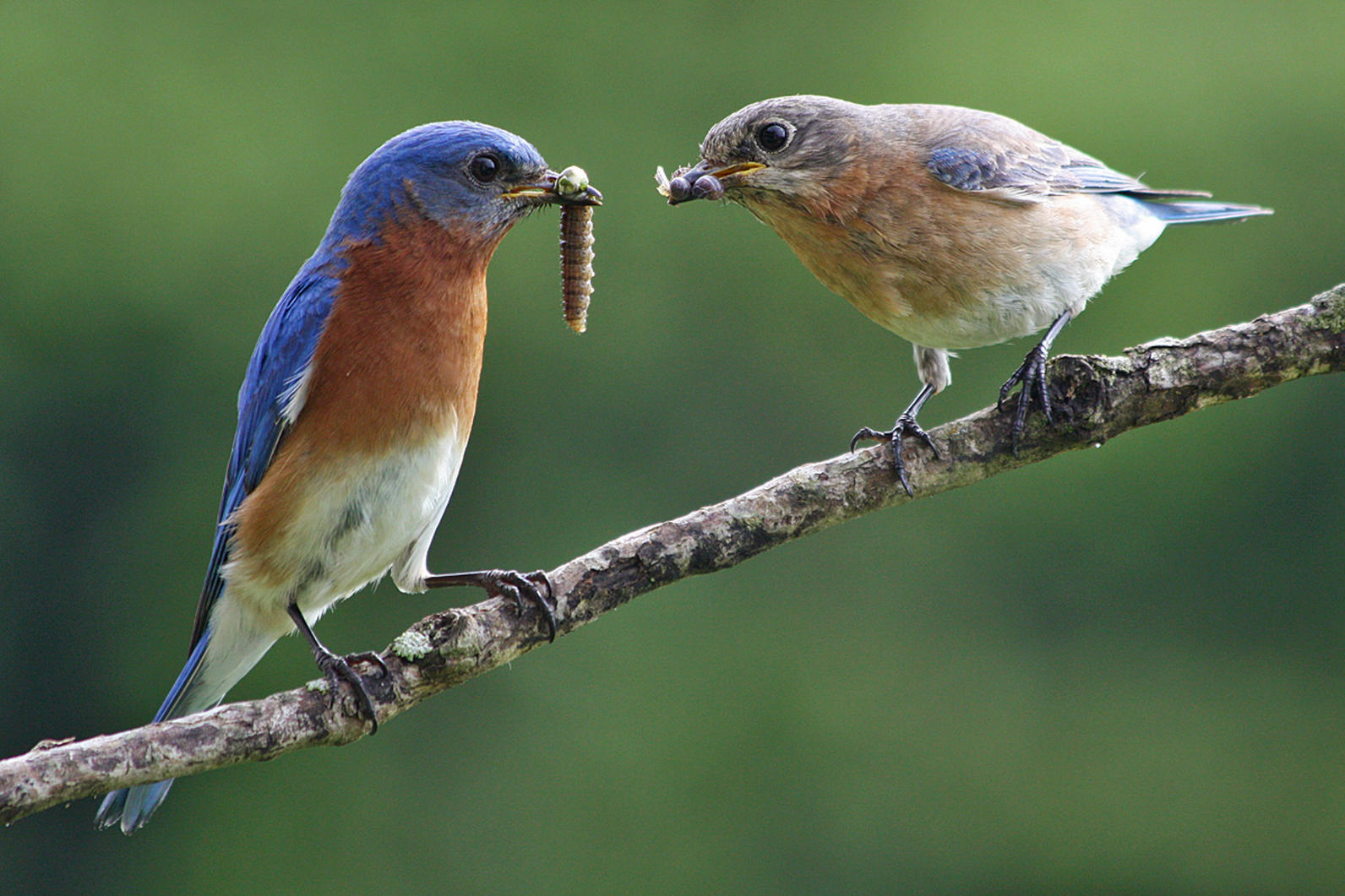 An Eastern Bluebird feeding a fat grub to its baby.