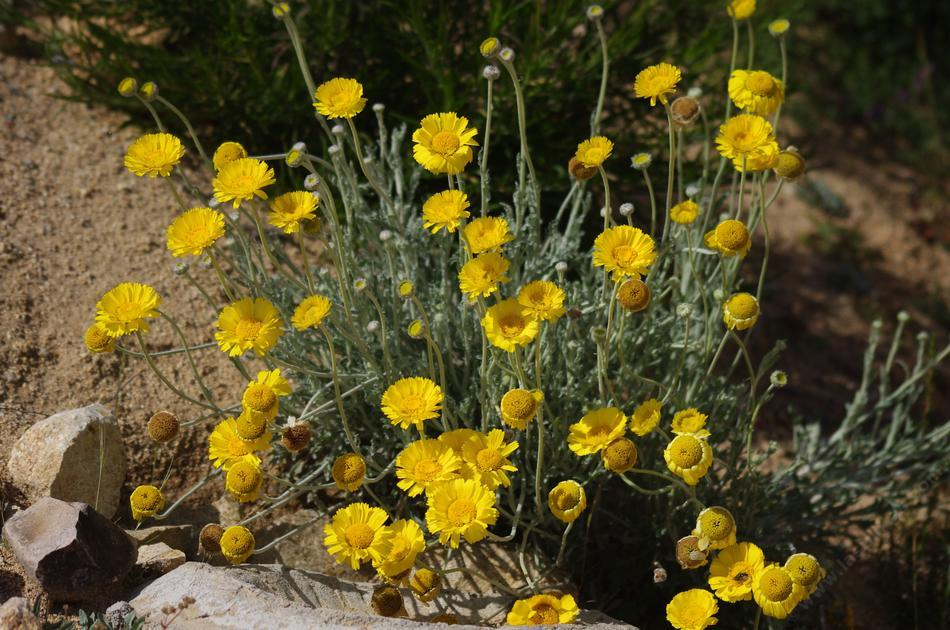 A bunch of yellow Desert Marigold flowers.