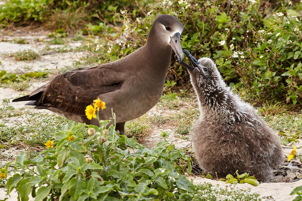 An adult Black-footed Albatross feeds its giant and fuzzy baby.