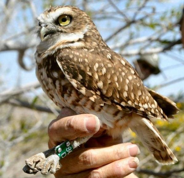 A banded Burrowing Owl in the hand.