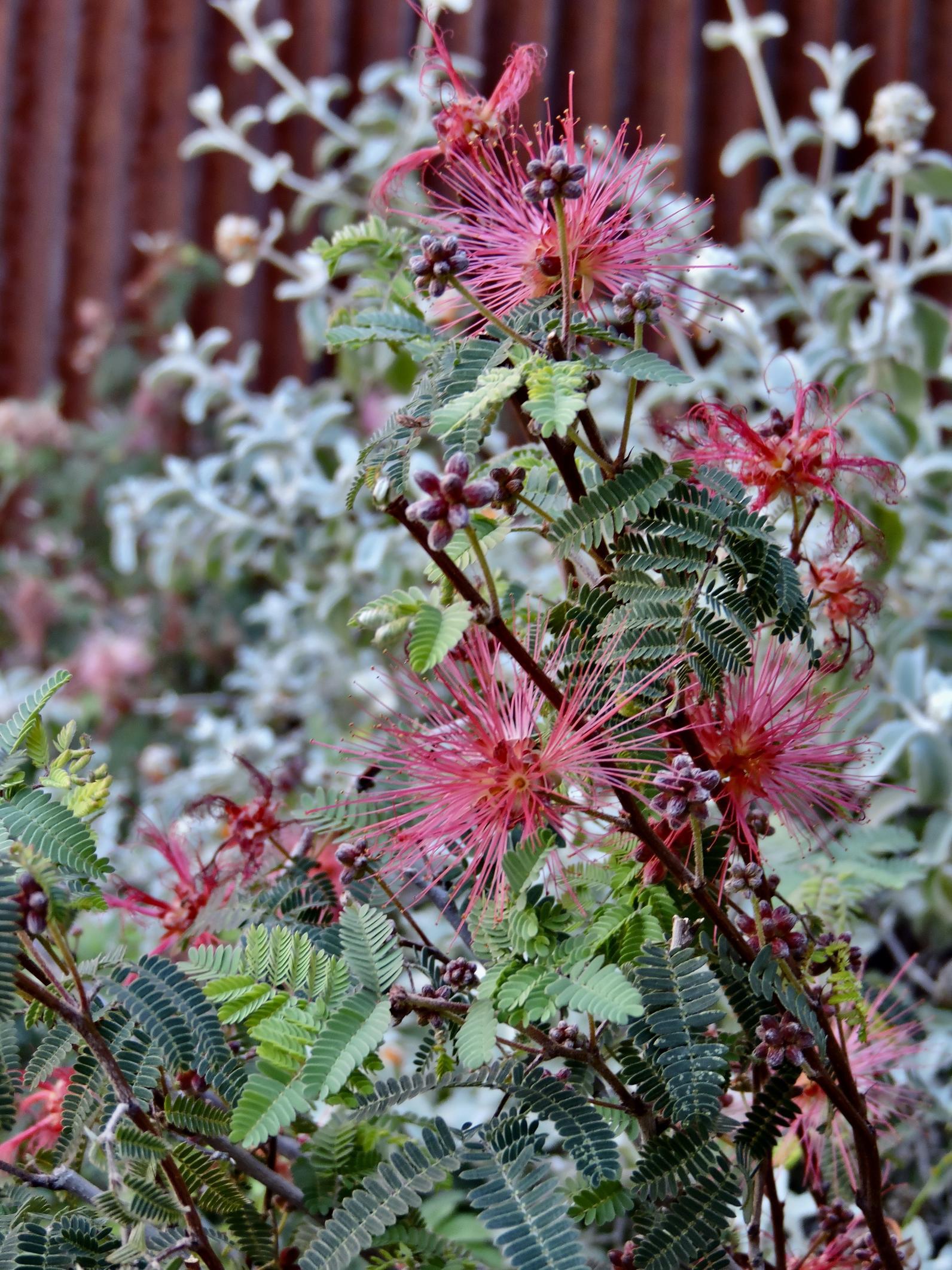 Fairy Duster blooming at the Nina Mason Pulliam Rio Salado Audubon Center