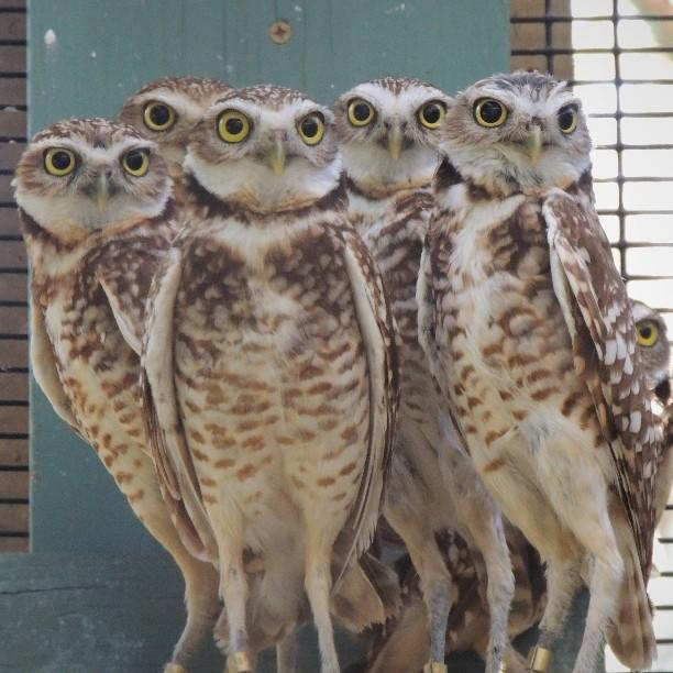A parliament of Burrowing Owls look on with wide eyes.