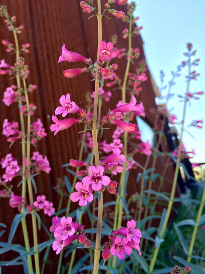 A bunch of pink penstemon flowers.