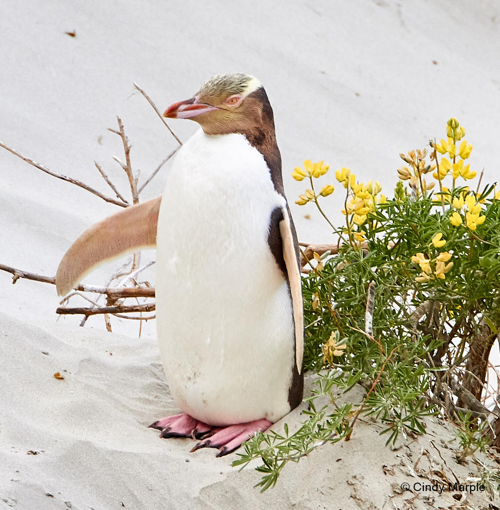 A Yellow-eyed Penguin sits on the sand surrounded by flowers.