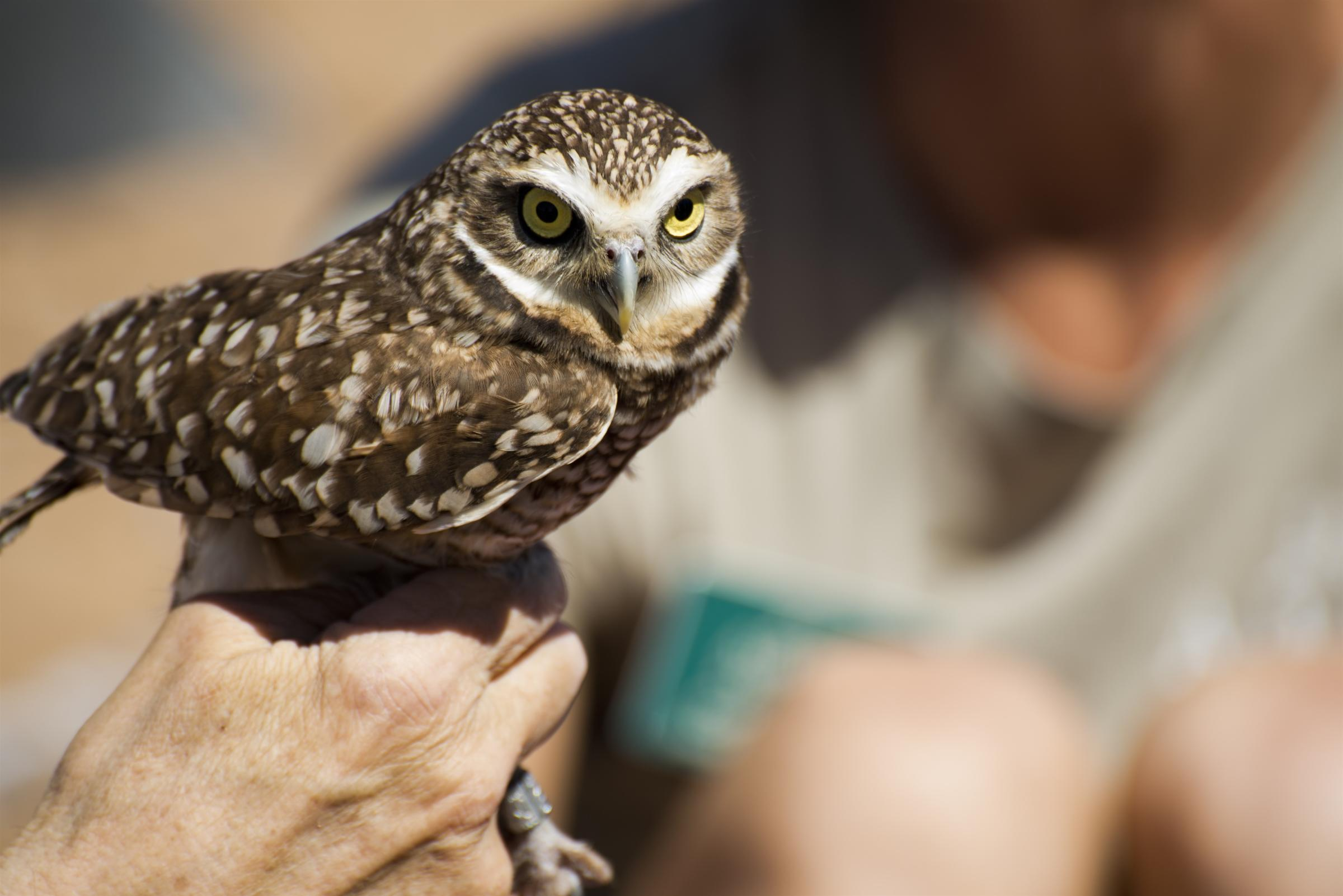 A Burrowing Owl rests in the hand of a conservationist.