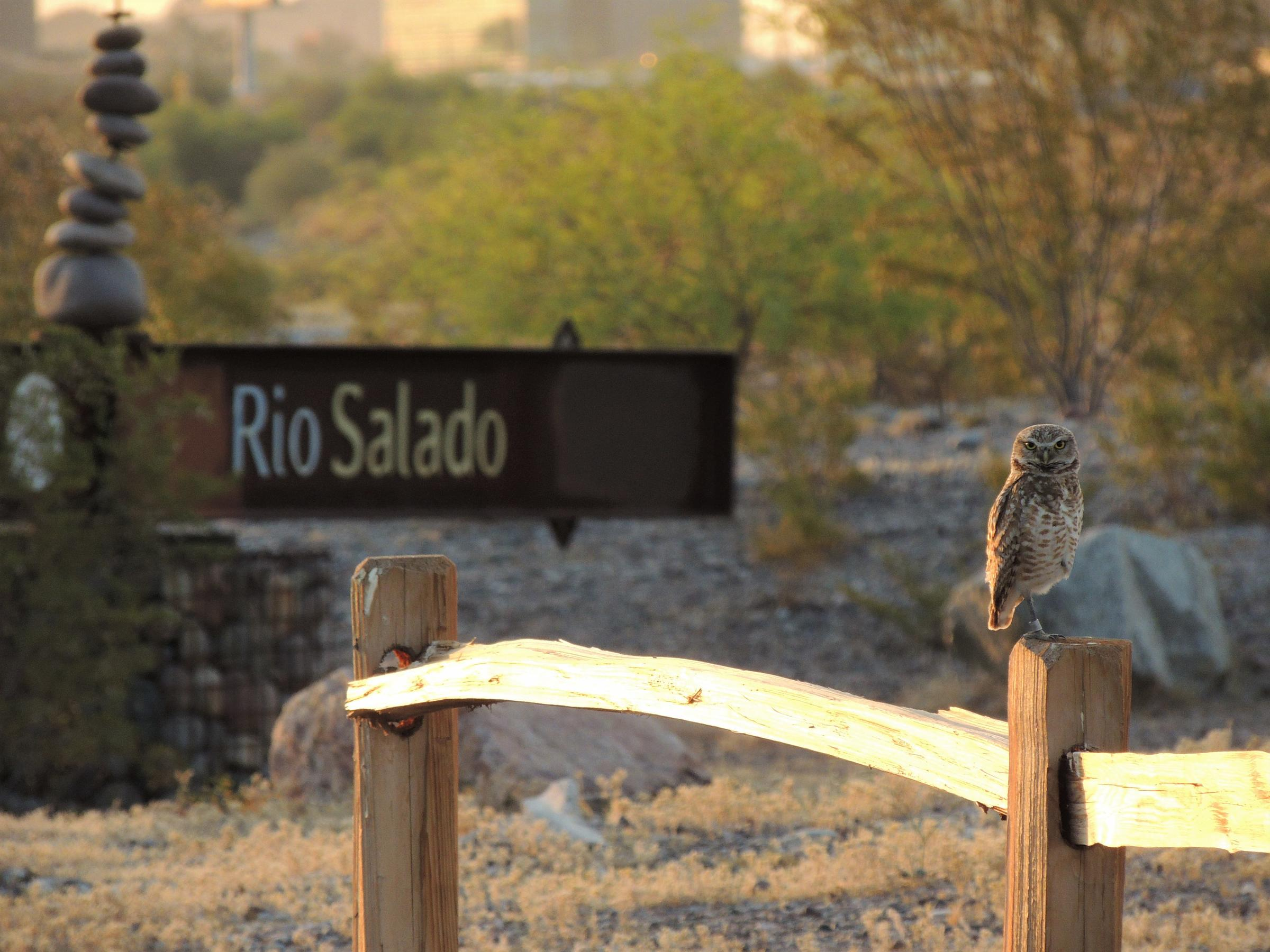 Burrowing Owl with Rio Salado sign and city skyline in the background