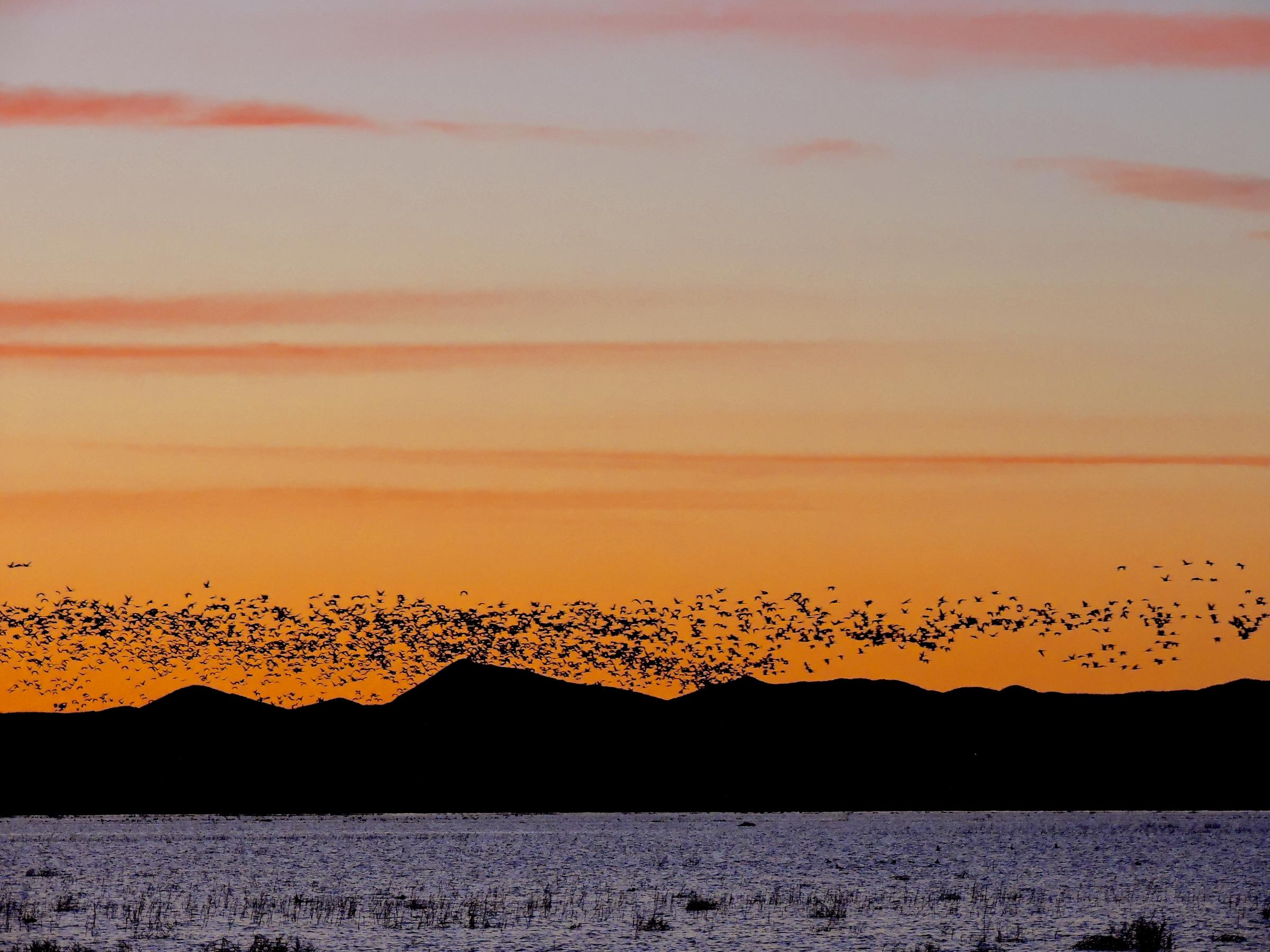 Flock of Sandhill Cranes flying into Whitewater Draw at dusk