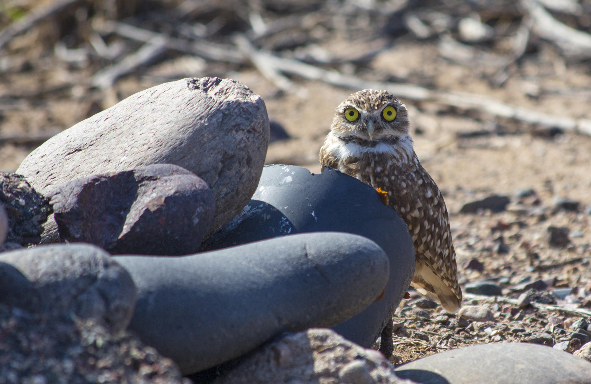 A Burrowing Owl peers over a rock placed by its artificial burrow.