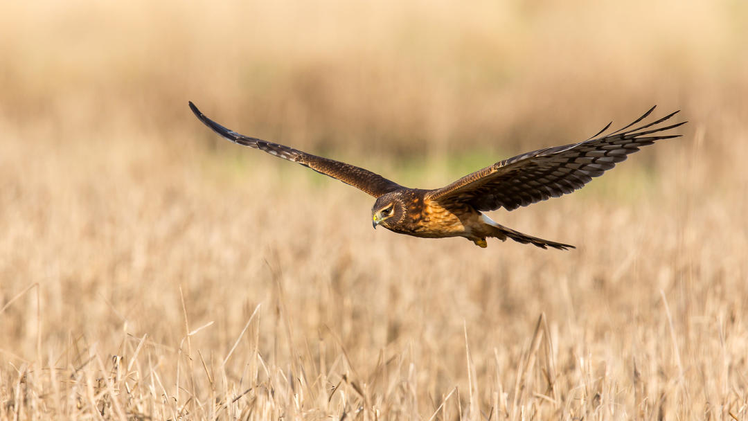Northern Harrier flying over grasslands.