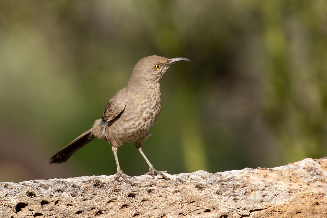 Curve-billed Thrasher perched on cholla branch